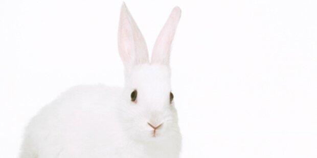 Weißer Hase führt Drogenlenker in Irre