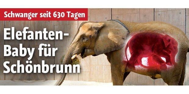 Schönbrunn bekommt jetzt Baby-Elefant