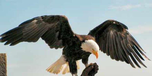 Diebe klauten Adler von der Riegersburg