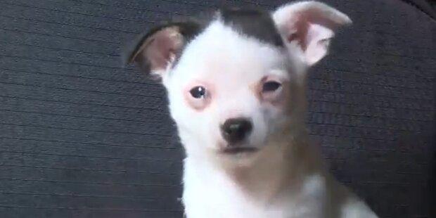 Chihuahua-Welpe sieht aus wie Hitler