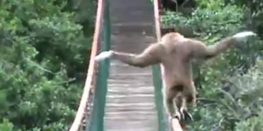 Affe balanciert geschickt über Brücke