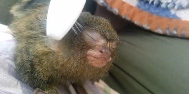 Affenbaby genießt Bürsten-Massage