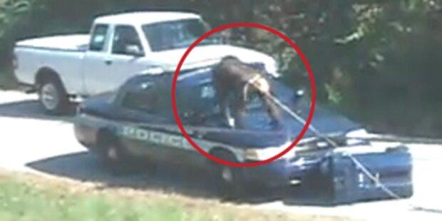 Monster-Affe schlägt auf Polizeiauto ein