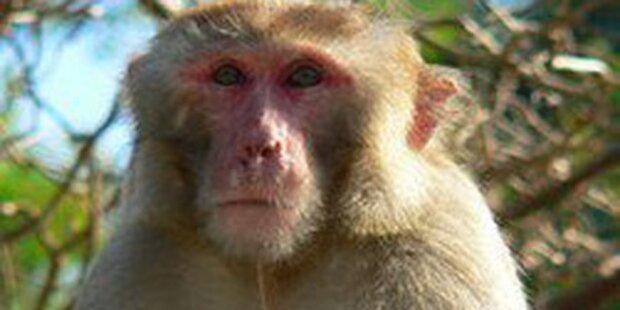 Tausende zittern mit entlaufenem Affen