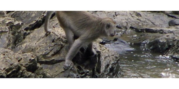 Erstmals Makaken bei Fischfang beobachtet