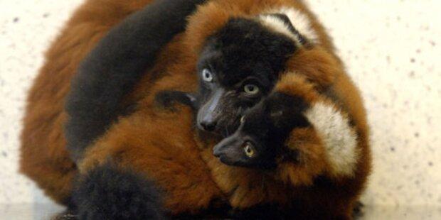 Happy End für verstoßene Affen-Zwillinge
