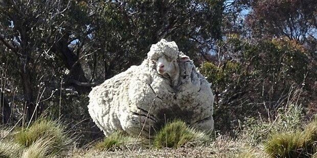 Riesiges Merino-Schaf stellt Rekord auf