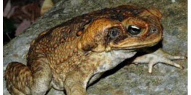 Giftige Kröte bedroht Süßwasser-Krokodile in Australien