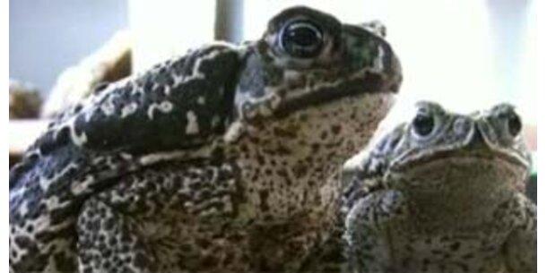 Riesen-Kröten töten Krokodile