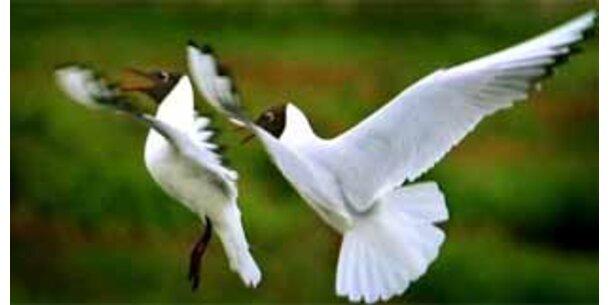 Albatros-Weibchen bilden gemeinsame Brutpaare