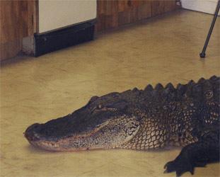 alligator_neu
