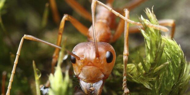 Warum jetzt eine Ameisenplage droht