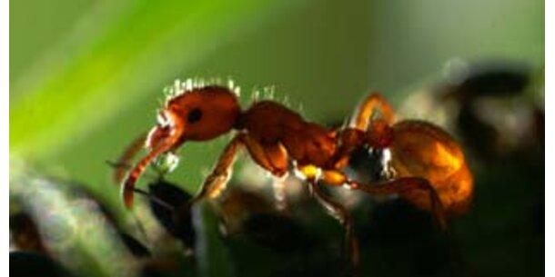 Österreichische Ameisen leben friedlicher