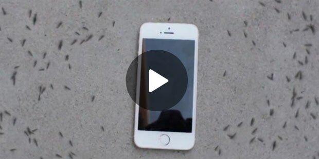 """Tausende Ameisen """"beten"""" iPhone an"""