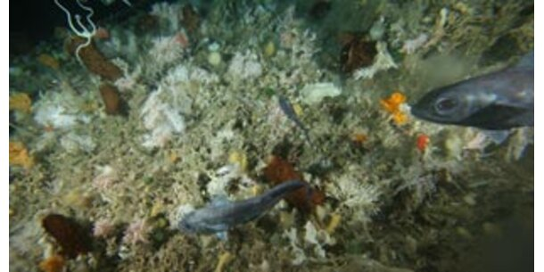 Rätselhafte Tiere im Wasser der Antarktis gefunden
