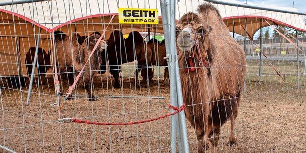 Saboteure ließen Zirkus-Kamele frei