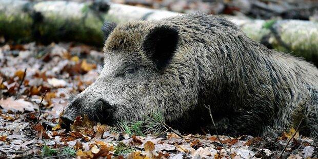 Schweinepest-Alarm jetzt auch in Westeuropa