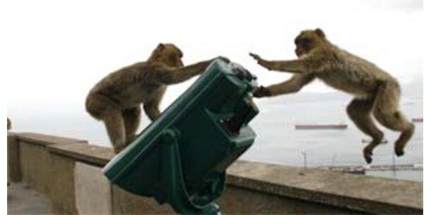 Gibraltar-Afffen werden zur Plage