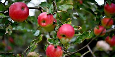 Rekord-Apfelernte in Europa