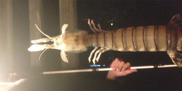 Fischer zog Riesen-Shrimp aus dem Meer