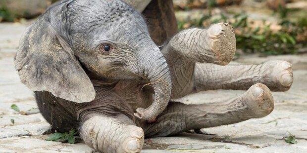 Süßer Elefantennachwuchs im Tiergarten Schönbrunn