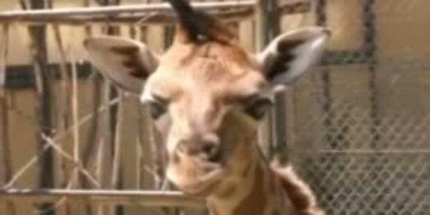 So süss war die Baby-Giraffe Arusha