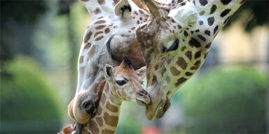 Giraffe Schönbrunn Arusha