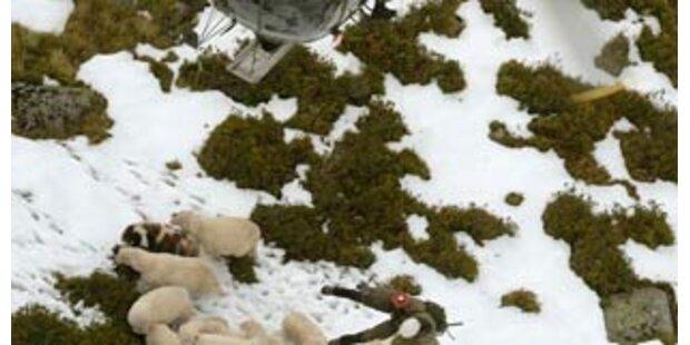 Bilanz der Schneehölle -  tausend Schafe verendet