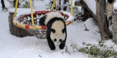 Panda Fu Hu tollt im Schnee herum