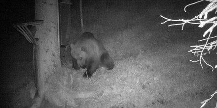 Bär-Alarm in Tirol: Tier von Wildkamera fotografiert