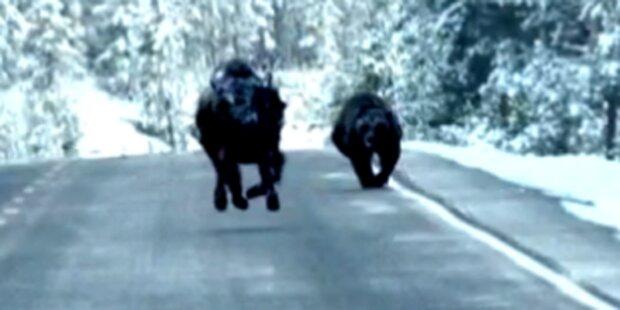 Grizzlybär macht Jagd auf Bison