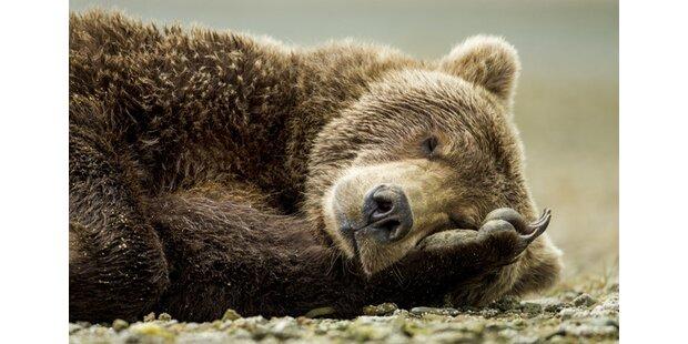 Jäger vergifteten Bären mit Schokolade