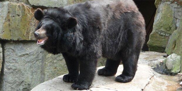 Hündchen rettet Bub (5) vor Bären-Attacke