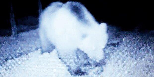 Bären-Alarm: Stark verweste Schafs-Kadaver entdeckt