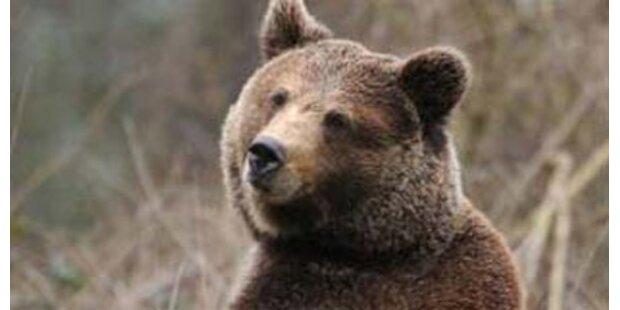 Bär tötete Bärin vor Publikum