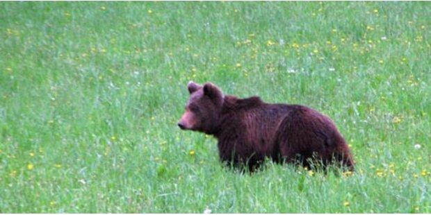 Kärntner Bärenkiller wurde identifiziert