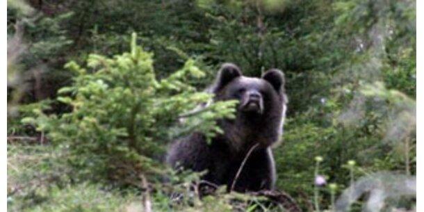 Tirol erleichtert Abschuss von Bären