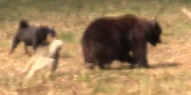 Skandal: Tierfutterfirma sponsert Bärenkämpfe
