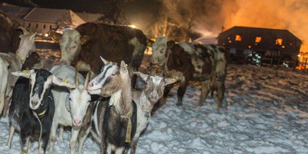 Bauernhofbrand: 200 Tiere gerettet