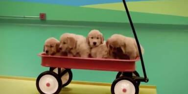 Rube Goldberg Maschine mit Hunden