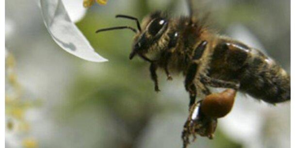 Bienen können Flugmuskeln aufheizen