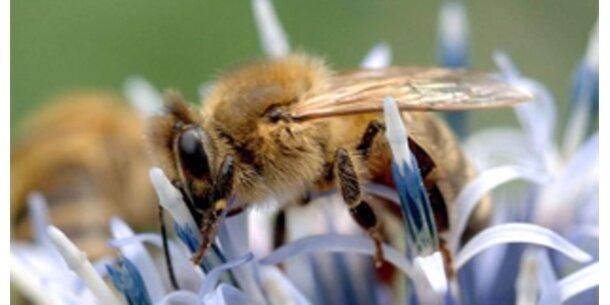 Bienen fliegen auf große Blüten