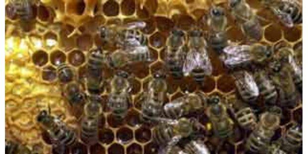 Beim Fangen von Bienen von Baggerschaufel gestürzt