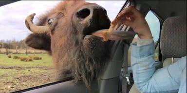 Ein Bison als Küsserkönig
