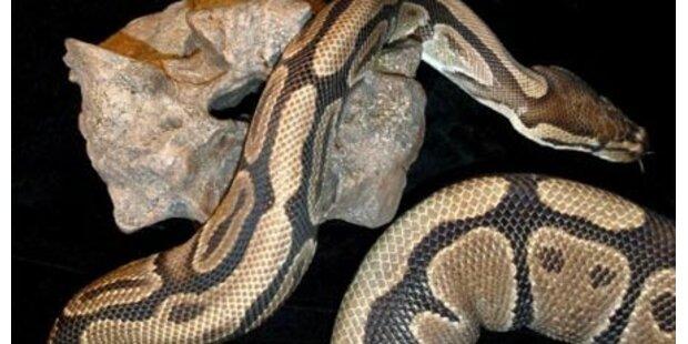Boa Constrictor bei Admont gefunden