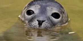 Seehund zerrt kleines Mädchen ins Wasser