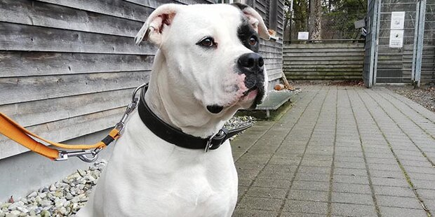Über Senioren hergefallen: Bulldogge in 'U-Haft'