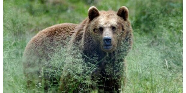 Wilder Braunbär verletzte Menschen