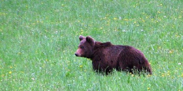 Junger Braunbär in Kärnten gesichtet