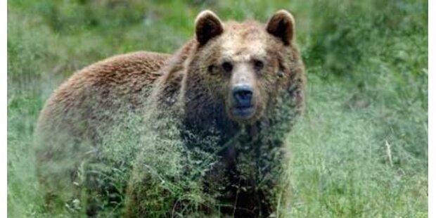 Bärin attackierte slowakischen Jäger